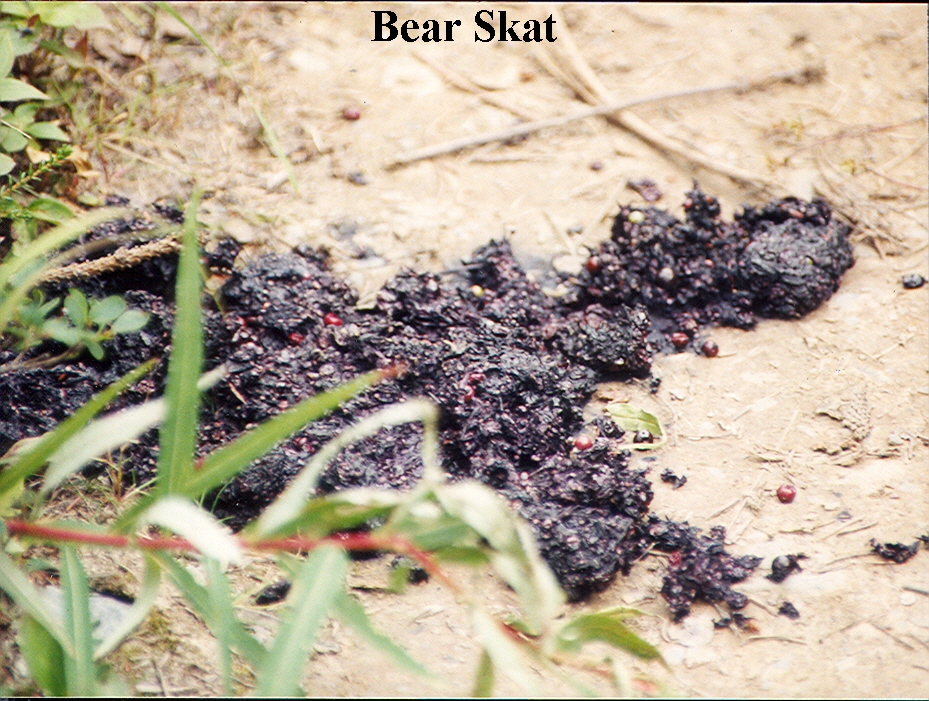 Bear Scat. A warning a bear can be close by